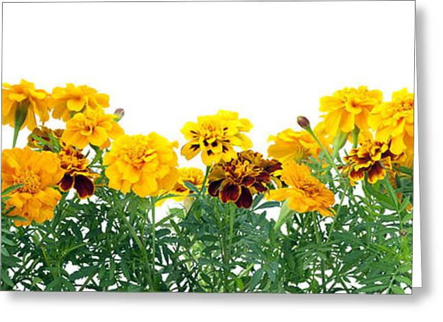 Nature Pyrography Greeting Cards - Border from  French Marigold  Greeting Card by Aleksandr Volkov