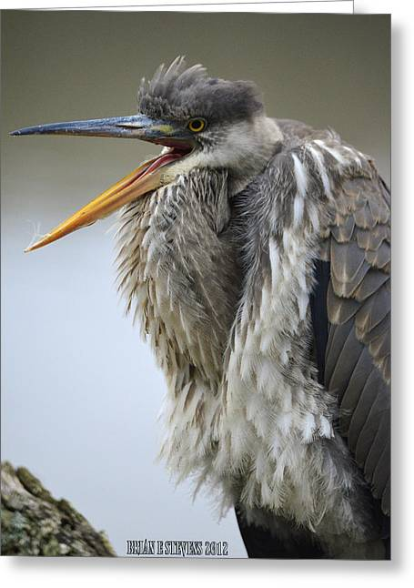 Bird Rookery Swamp Greeting Cards - Bored heron Greeting Card by Brian Stevens