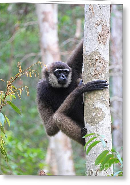 White Beard Photographs Greeting Cards - Bornean White-bearded Gibbon Greeting Card by Mark Taylor