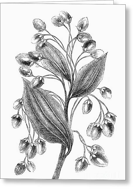 Botany: Cinnamon Plant Greeting Card by Granger