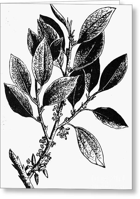 Botany: Coca Shrub Greeting Card by Granger