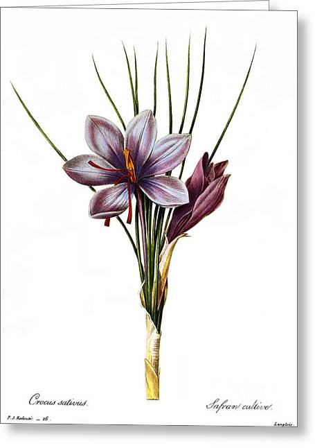 1833 Greeting Cards - Botany: Saffron Greeting Card by Granger