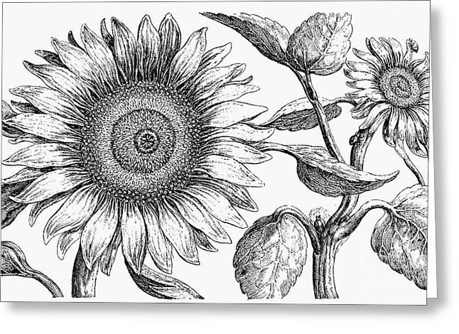 Botany: Sunflower Greeting Card by Granger