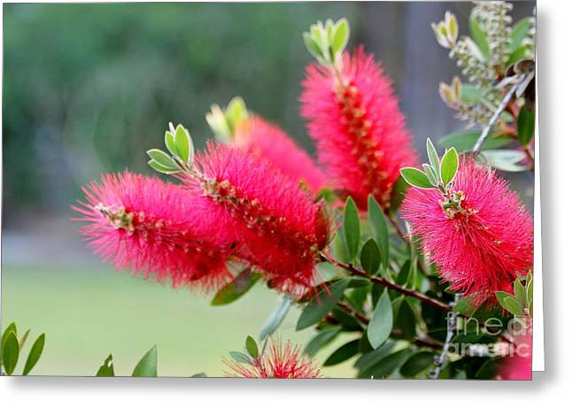 Bottle Brush Greeting Card by Diana  Tyson