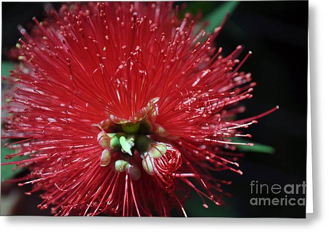 Bottle Brush Greeting Card by Joanne Kocwin