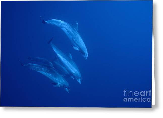 Bottle-nosed Dolphins Underwater Greeting Card by Sami Sarkis