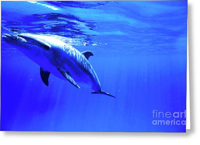 Delphinidae Greeting Cards - Bottlenose Dolphin, Cayman Brac, Cayman Greeting Card by Beverly Factor