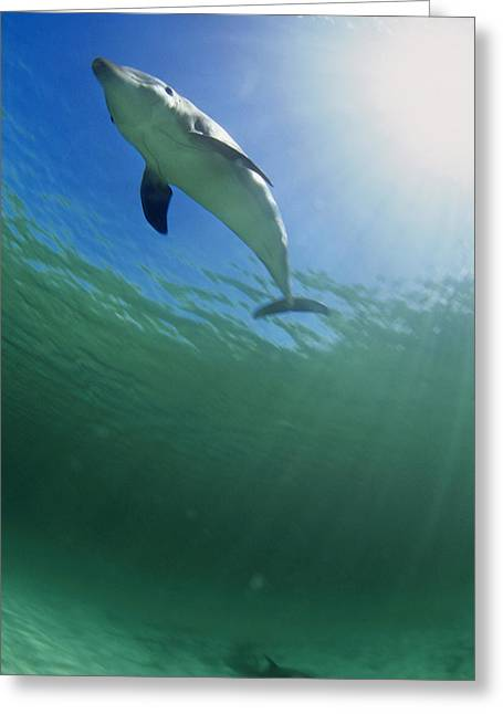 Tursiops Truncatus Greeting Cards - Bottlenose Dolphin Greeting Card by Louise Murray