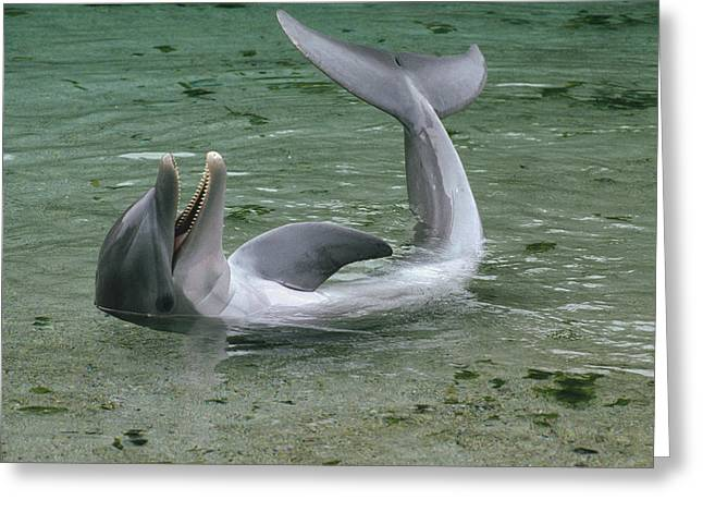 Delphinidae Greeting Cards - Bottlenose Dolphin Playing In Shallows Greeting Card by Flip Nicklin