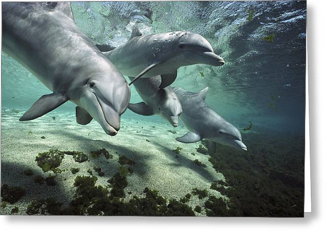 Delphinidae Greeting Cards - Bottlenose Dolphin Pod Hawaii Greeting Card by Flip Nicklin