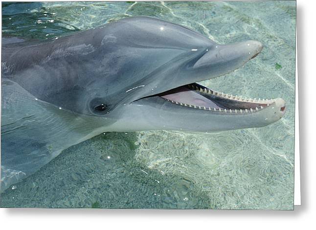 Us Open Photographs Greeting Cards - Bottlenose Dolphin Portrait  Hawaii Greeting Card by Flip Nicklin