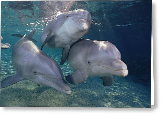 Bottle Of Colors Greeting Cards - Bottlenose Dolphin Trio Hawaii Greeting Card by Flip Nicklin