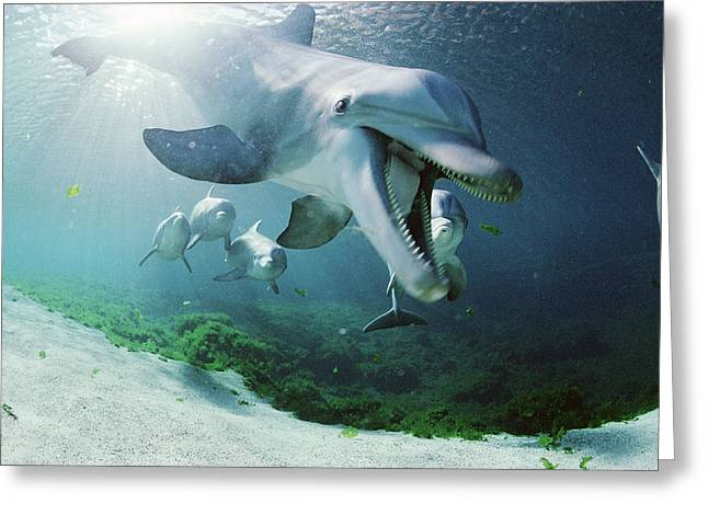 Bottle Of Colors Greeting Cards - Bottlenose Dolphin Underwater Hawaii Greeting Card by Flip Nicklin