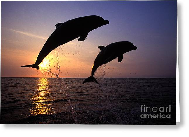 Cetaceans Greeting Cards - Bottlenose Dolphins Greeting Card by Francois Gohier and Photo Researchers