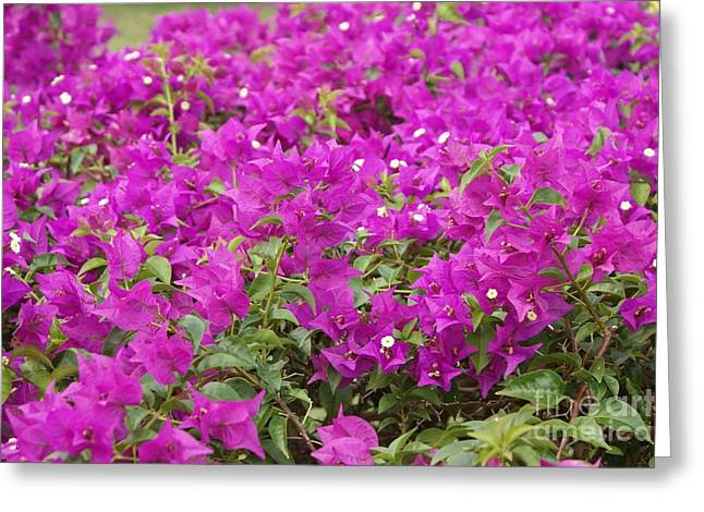 Bougainvilla 919 Greeting Card by Larry Matthews