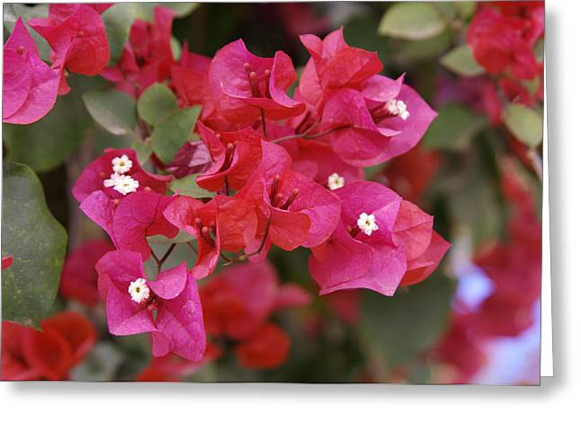 Bougainvillea Flowers Greeting Card by Johnny Greig