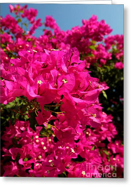 Ladder Back Chairs Greeting Cards - Bougainvillea Greeting Card by George  Saitas
