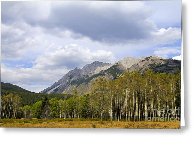 Birch Tree Greeting Cards - Bow Valley Parkway Greeting Card by Teresa Zieba