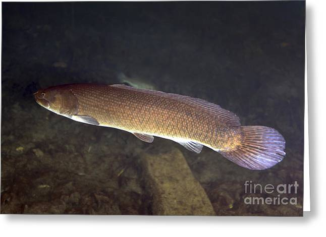 Fish Scales Greeting Cards - Bowfin Amia Calva Swims The Murky Greeting Card by Michael Wood