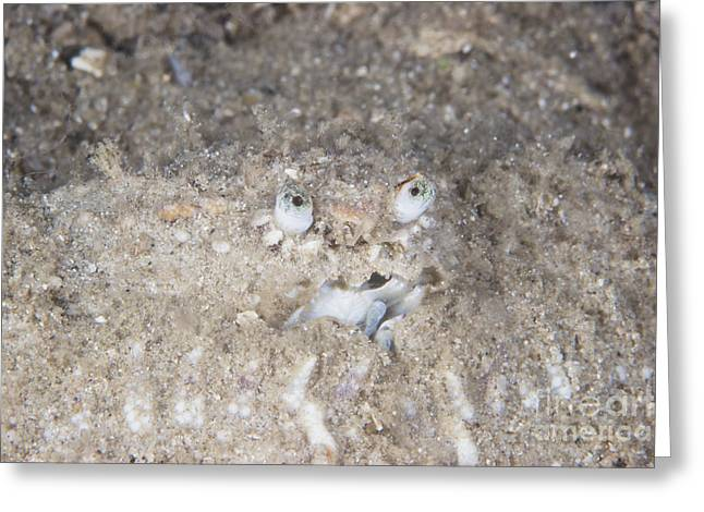 Decapoda Greeting Cards - Box Crab Burrows In The Sand, Papua New Greeting Card by Terry Moore