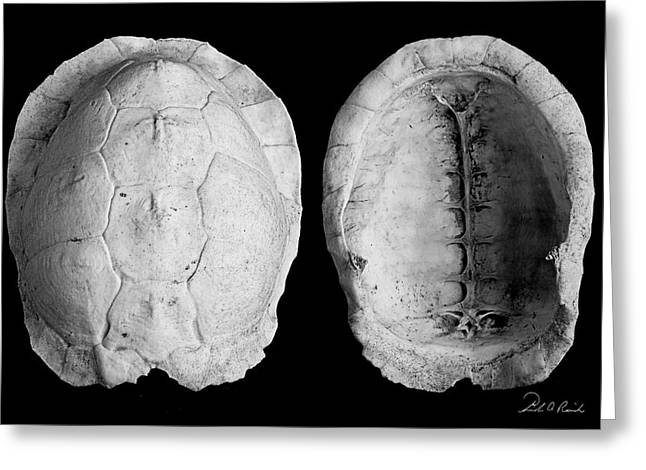 Box Turtle Shell Greeting Card by Frederic A Reinecke