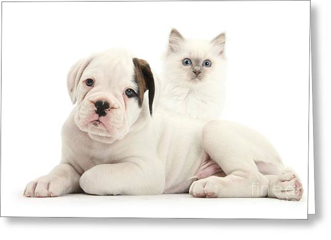 Boxer Puppy And Blue-point Kitten Greeting Card by Mark Taylor
