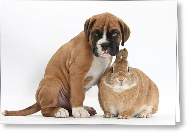 Domesticated Pet Greeting Cards - Boxer Puppy And Netherland-cross Rabbit Greeting Card by Mark Taylor