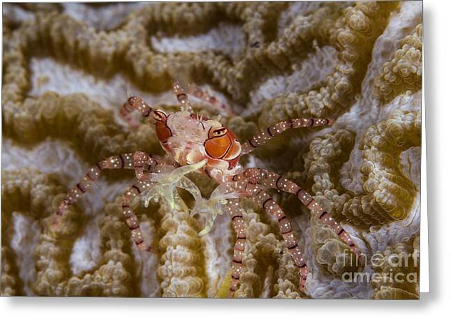 Malacostraca Greeting Cards - Boxing Crab In Raja Ampat, Indonesia Greeting Card by Todd Winner