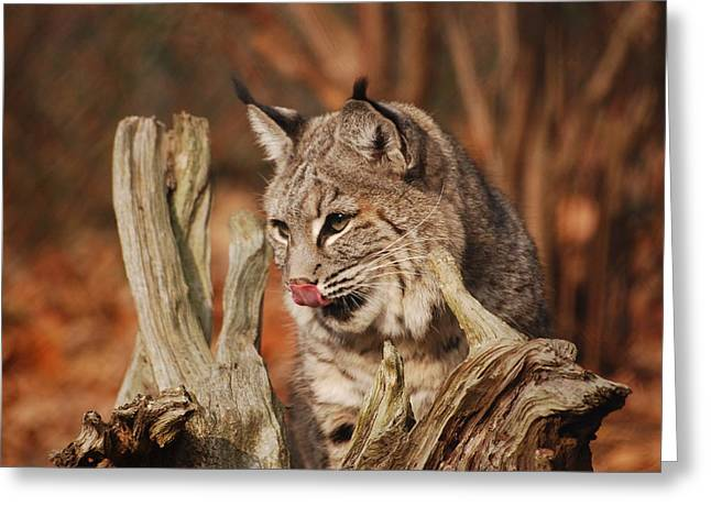 Bobcats Greeting Cards - Boy that was good Greeting Card by Lori Tambakis