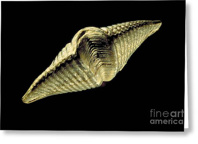 Fossilized Shell Greeting Cards - Brachiopod Fossil Greeting Card by Ted Kinsman