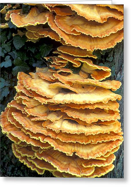 Eumycota Greeting Cards - Bracket Polypore Fungi Greeting Card by Dr Keith Wheeler