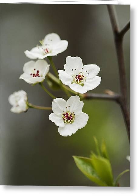 Bradford Callery Pear Tree Blossoms - Pyrus Calleryana Greeting Card by Kathy Clark