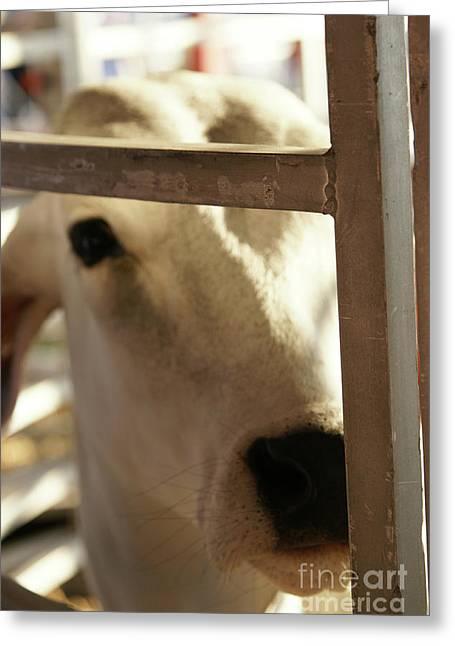 Brahma Bull Greeting Cards - Brahma Love - 2 Greeting Card by Linda Knorr Shafer