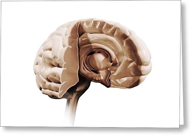 Psychological Background Greeting Cards - Brain Anatomy, Artwork Greeting Card by Claus Lunau