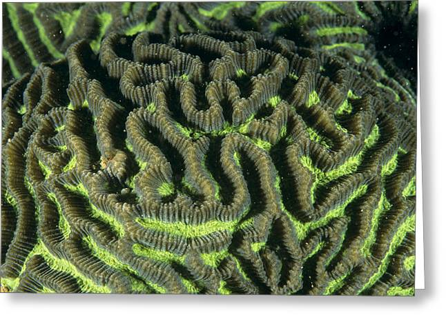 Brain Coral Greeting Cards - Brain Coral Greeting Card by Alexis Rosenfeld