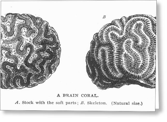 Aquatic Greeting Cards - Brain Coral Greeting Card by Granger