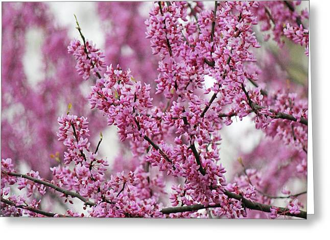 Becky Lodes Greeting Cards - Branches of pink blossoms Greeting Card by Becky Lodes