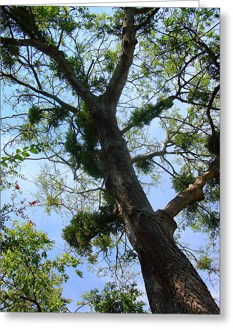Forest Picture Greeting Cards - Branching Out Greeting Card by David G Paul