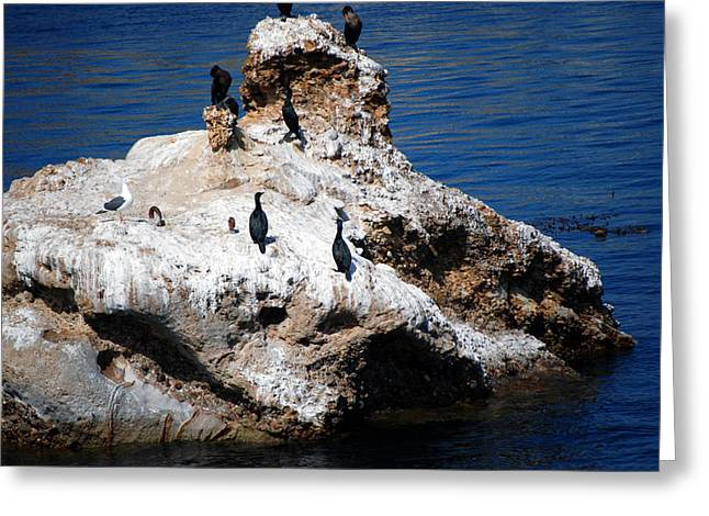 Point Lobos Greeting Cards - Brandts Cormorant Greeting Card by Harvey Barrison