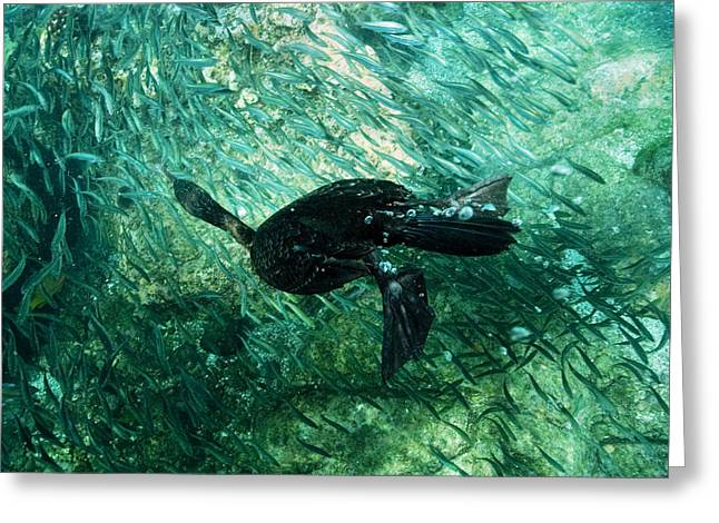 Aquatic Greeting Cards - Brandts Cormorant Greeting Card by Louise Murray