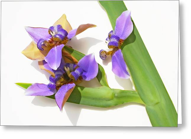 In Bloom Pyrography Greeting Cards - Brazilian Iris in Soft Rendition Greeting Card by Olivia Novak