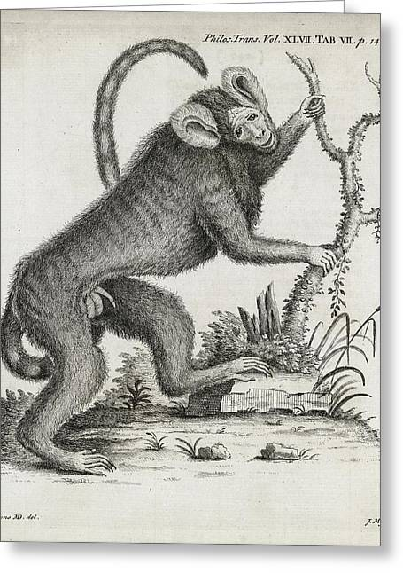 Volume 47 Greeting Cards - Brazilian Marmoset, 18th Century Greeting Card by Middle Temple Library