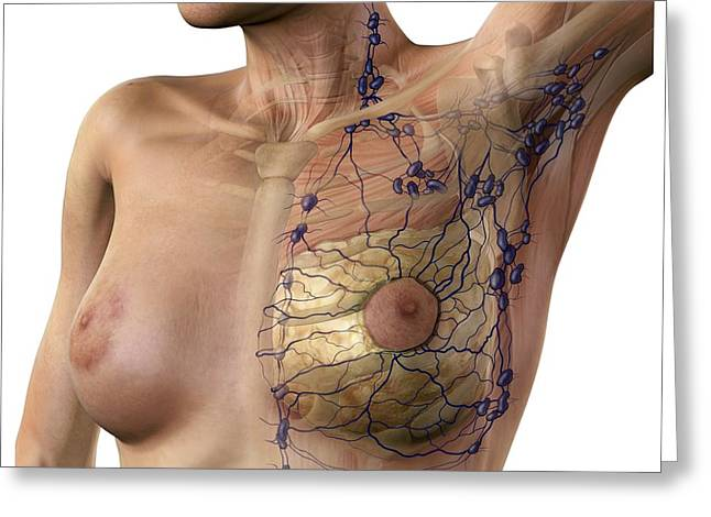 Inner Self Photographs Greeting Cards - Breast Lymphatic System, Artwork Greeting Card by D & L Graphics