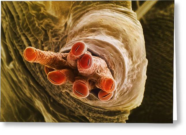 False Front Greeting Cards - Breathing Tube On A Fruit Flys Pupa, Sem Greeting Card by Dr Jeremy Burgess