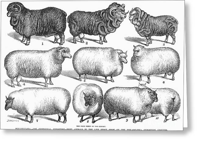 1876 Greeting Cards - Breeds Of Sheep, 1876 Greeting Card by Granger