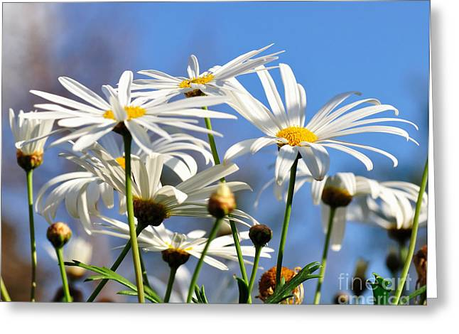 Sunlight On Flowers Greeting Cards - Bright Daisies Greeting Card by Kaye Menner