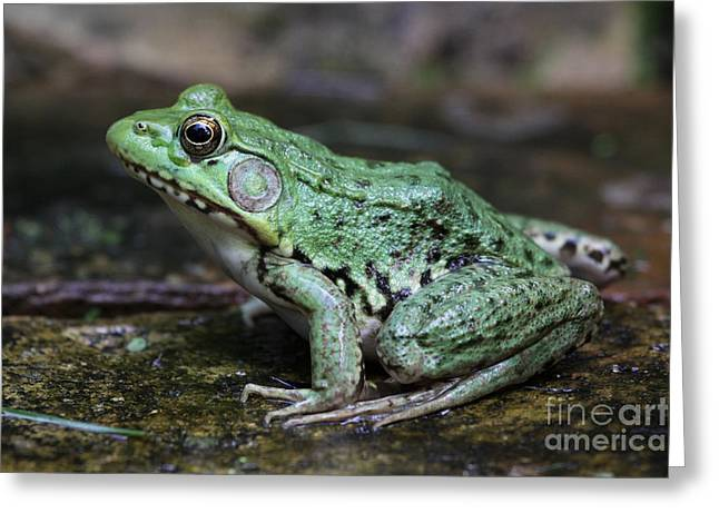 Chris Hill Greeting Cards - Bright Green Bullfrog Greeting Card by Chris Hill