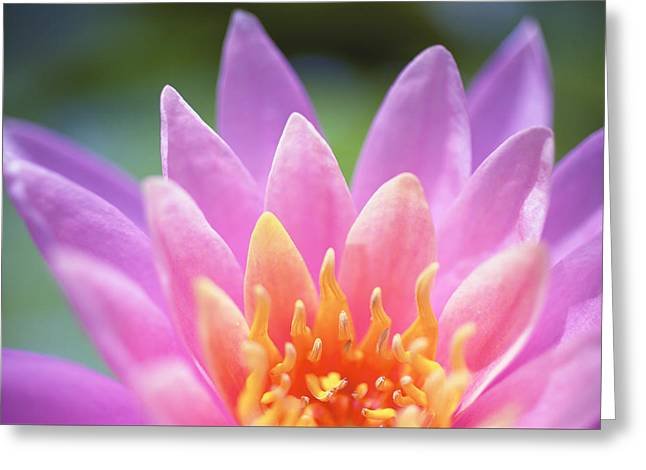 Bright Pink Water Lily Greeting Card by Kicka Witte