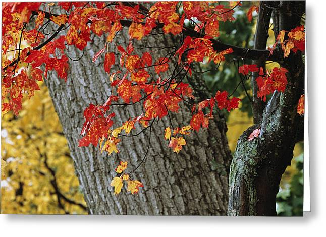 Bright Red Maple Leaves Against An Oak Greeting Card by Tim Laman