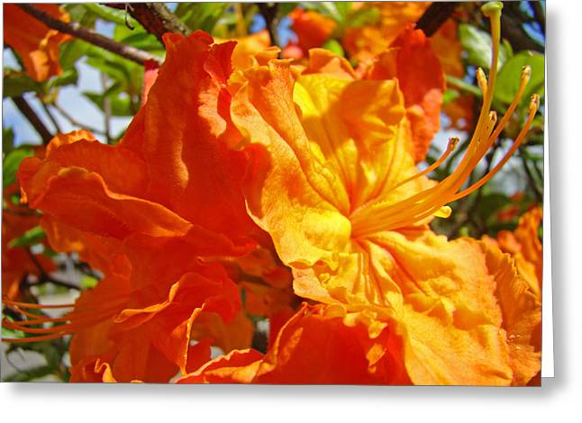 �rhodies Flowers� Greeting Cards - Bright Vivid Orange Floral Rhodies Rhododendrons Baslee Troutman Greeting Card by Baslee Troutman Fine Art Prints Collections